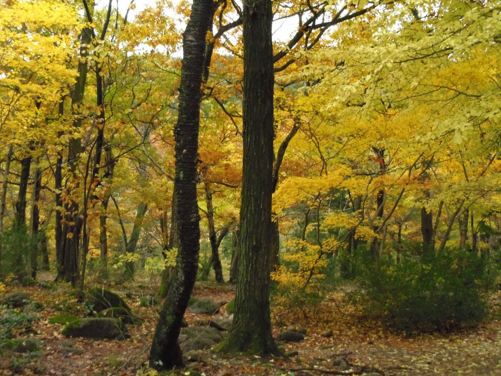 IMGP0109-1024x768 五頭の紅葉~もみじが黄色 五頭山麓いこいの森