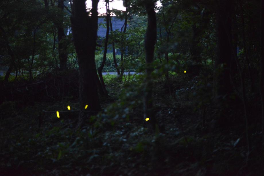 DSC_0436 ホタル舞う季節に 五頭山麓いこいの森
