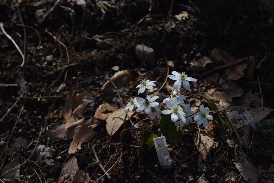 56fc397397a66b0e41d305e7df674e44 散策道に春の山野草を植えています 五頭山麓いこいの森