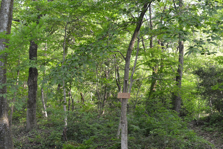 1d036f1df45b03af3d8122ba18d7022a この木何の木?気になる木 五頭山麓いこいの森