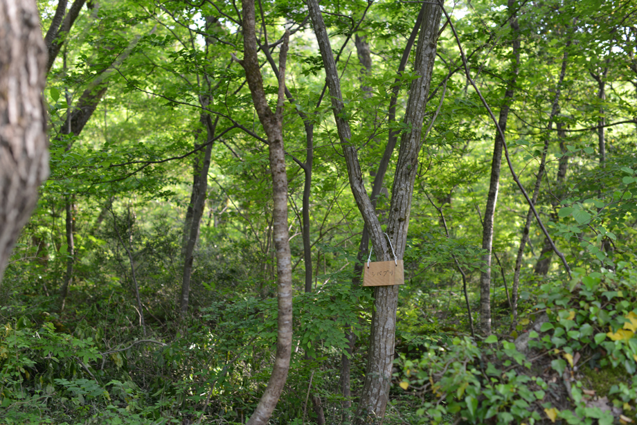 a7c3fd63c05e3c16193393b1eb3ba372 この木何の木?気になる木 五頭山麓いこいの森