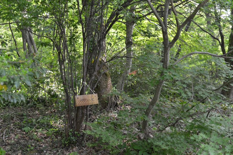 b3c8a44bf1c1600efc6583bb7b4cde5a この木何の木?気になる木 五頭山麓いこいの森