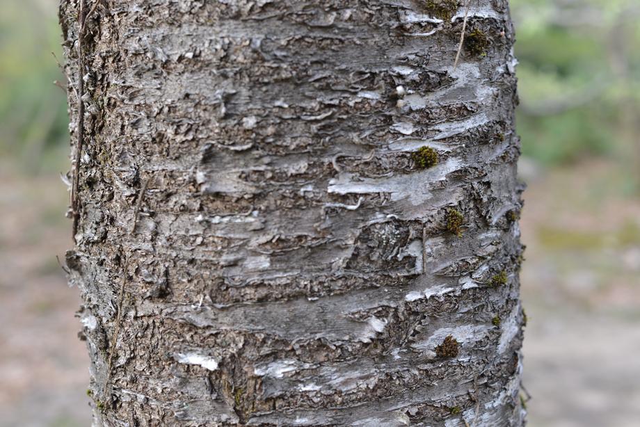 ikoi20170422-08 樹皮の模様いろいろ 五頭山麓いこいの森