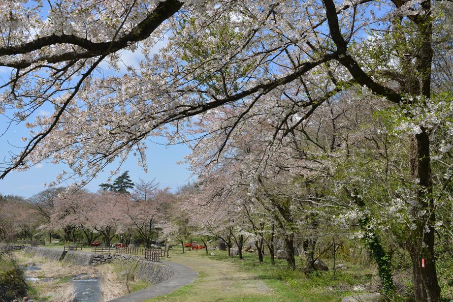 ikoi20170423-09 ソメイヨシノ 五頭山麓いこいの森