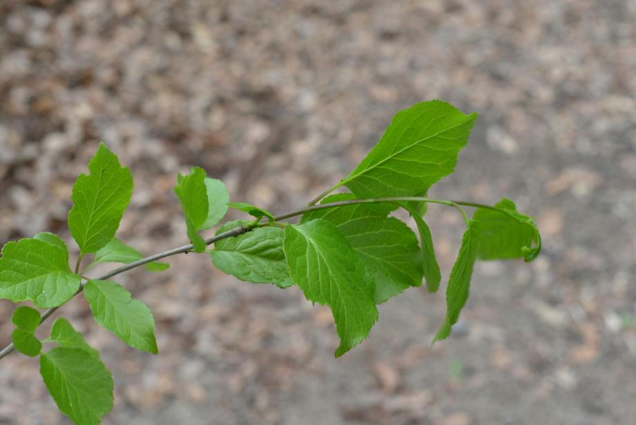 アオハダの葉