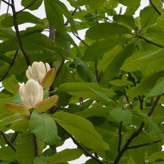 ホオノキの花