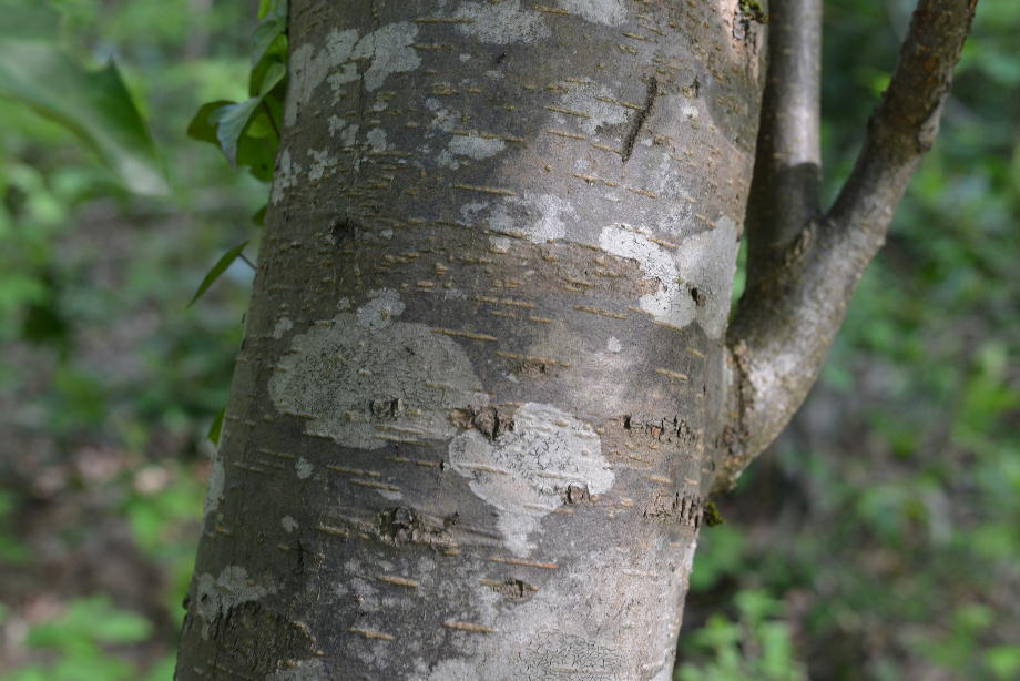 ウワミズザクラの樹皮