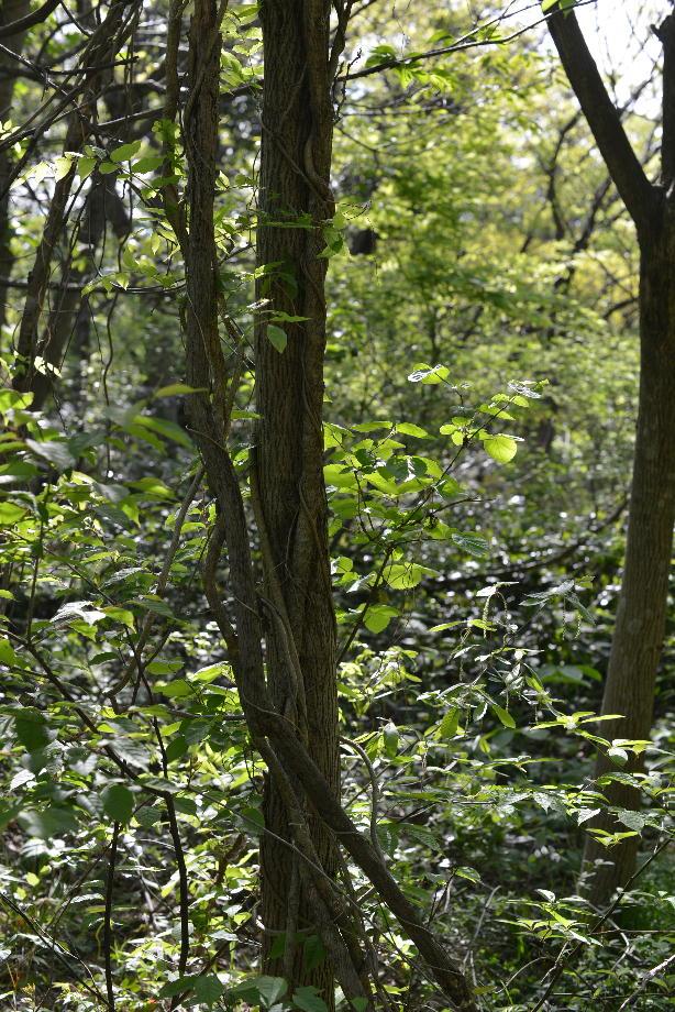 ikoi20170505-03 奥へ行ったらツタがあったので紐を作ってみた 五頭山麓いこいの森