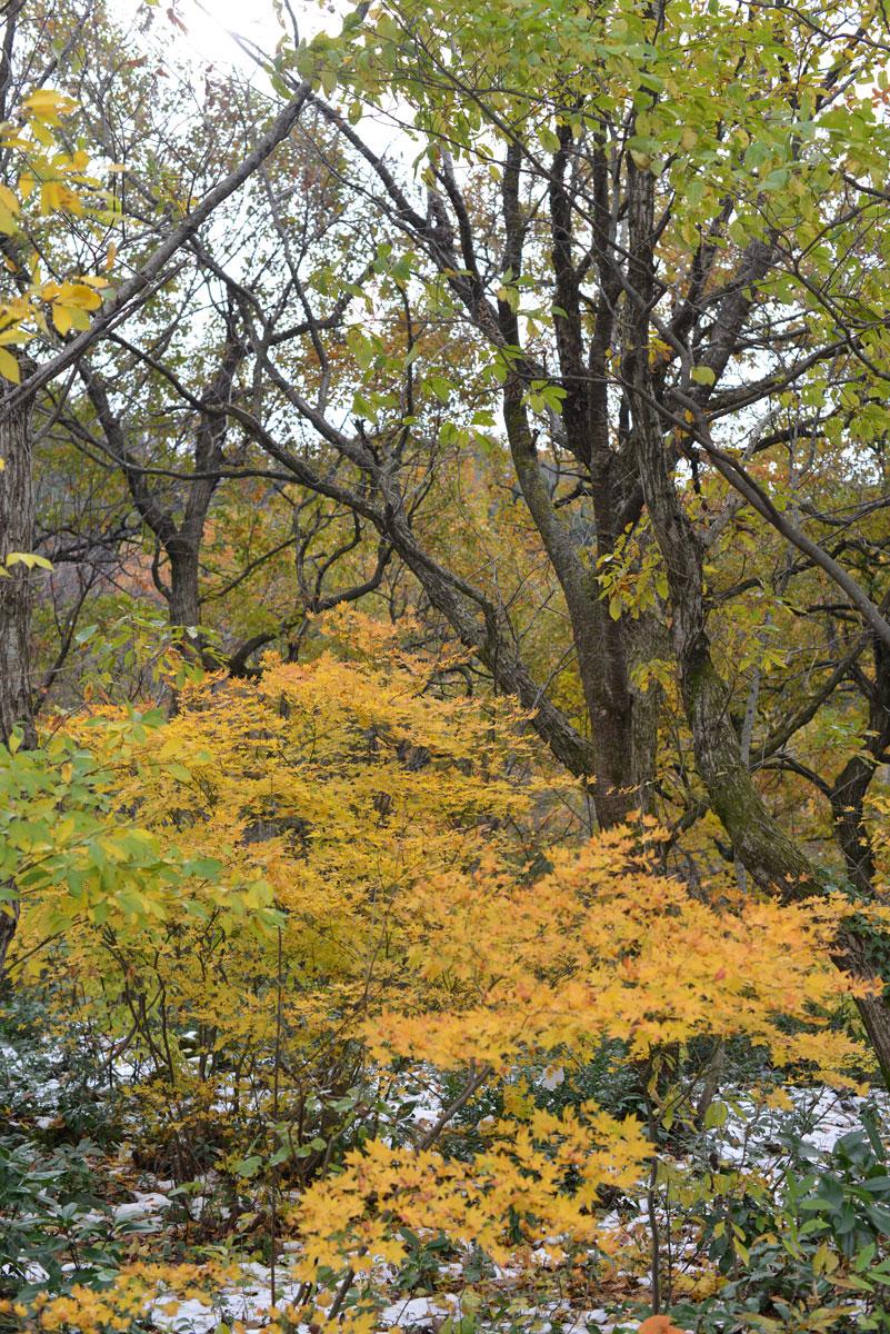 ikoi20171122-03 秋と冬が一緒にやってきた 五頭山麓いこいの森