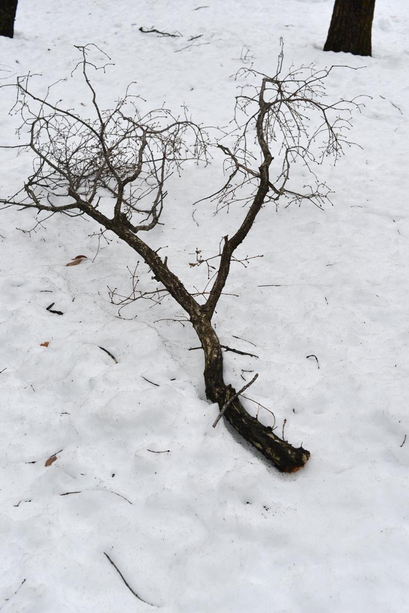 ikoi20180118-05 大きな枝が降ってきます 五頭山麓いこいの森