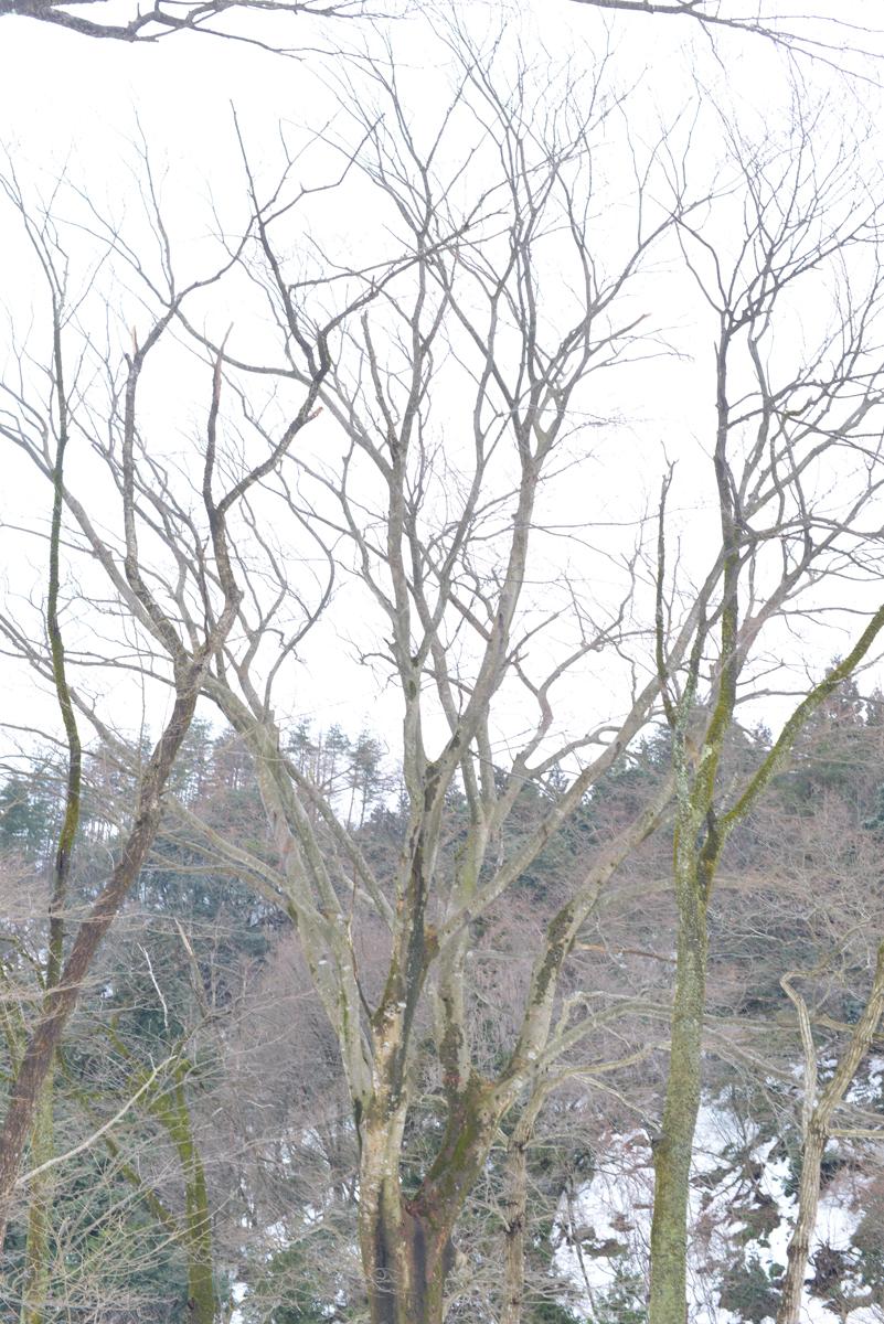 ikoi20180118-06 大きな枝が降ってきます 五頭山麓いこいの森