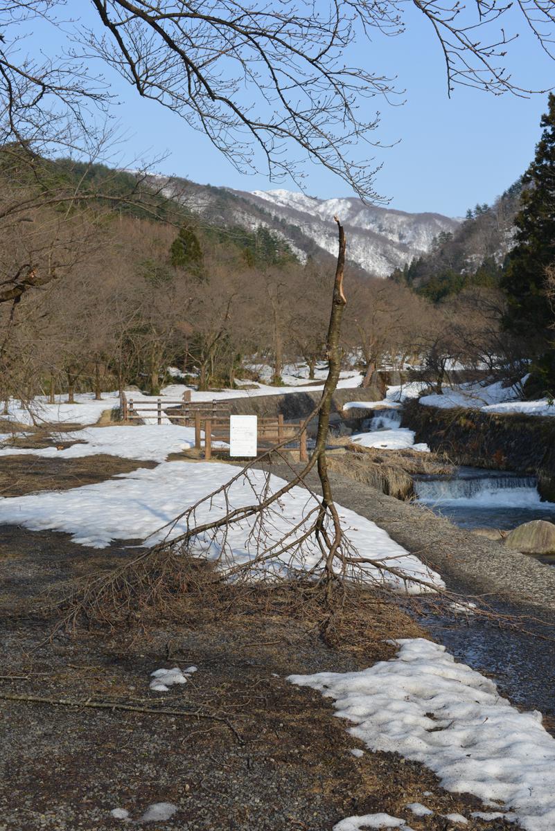 ikoi20180313-07 枝が落ちて薪になってくれる準備をしていた 五頭山麓いこいの森