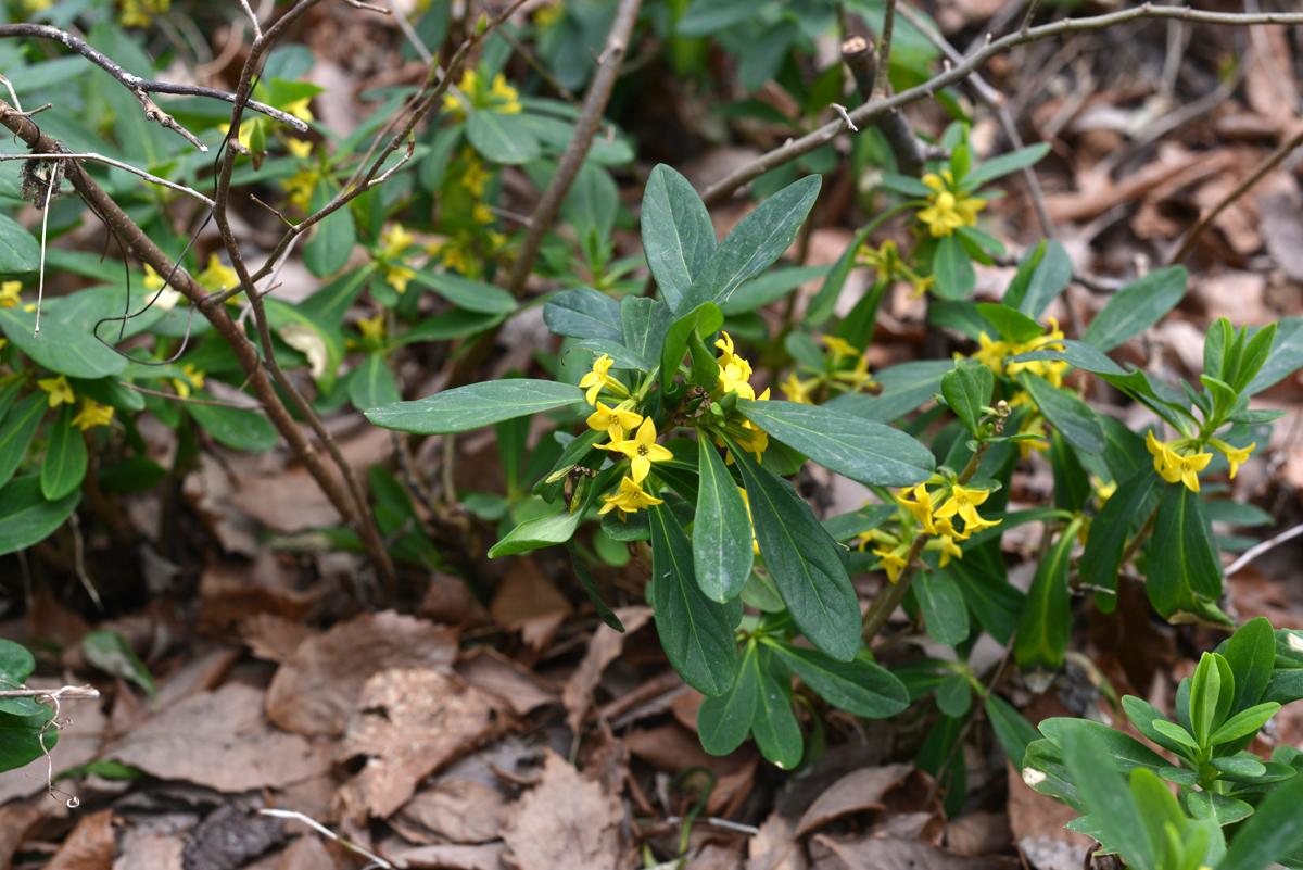 ikoi20180401-03 五頭山麓いこいの森にも春が来た 五頭山麓いこいの森