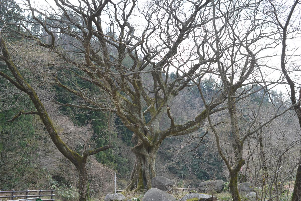 ikoi20180401-13 五頭山麓いこいの森にも春が来た 五頭山麓いこいの森