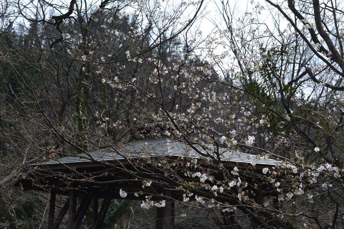 ikoi20180401-15 五頭山麓いこいの森にも春が来た 五頭山麓いこいの森