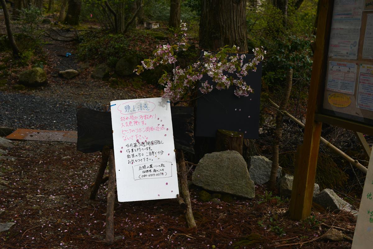 ikoi20180416-01 桜並木 五頭山麓いこいの森
