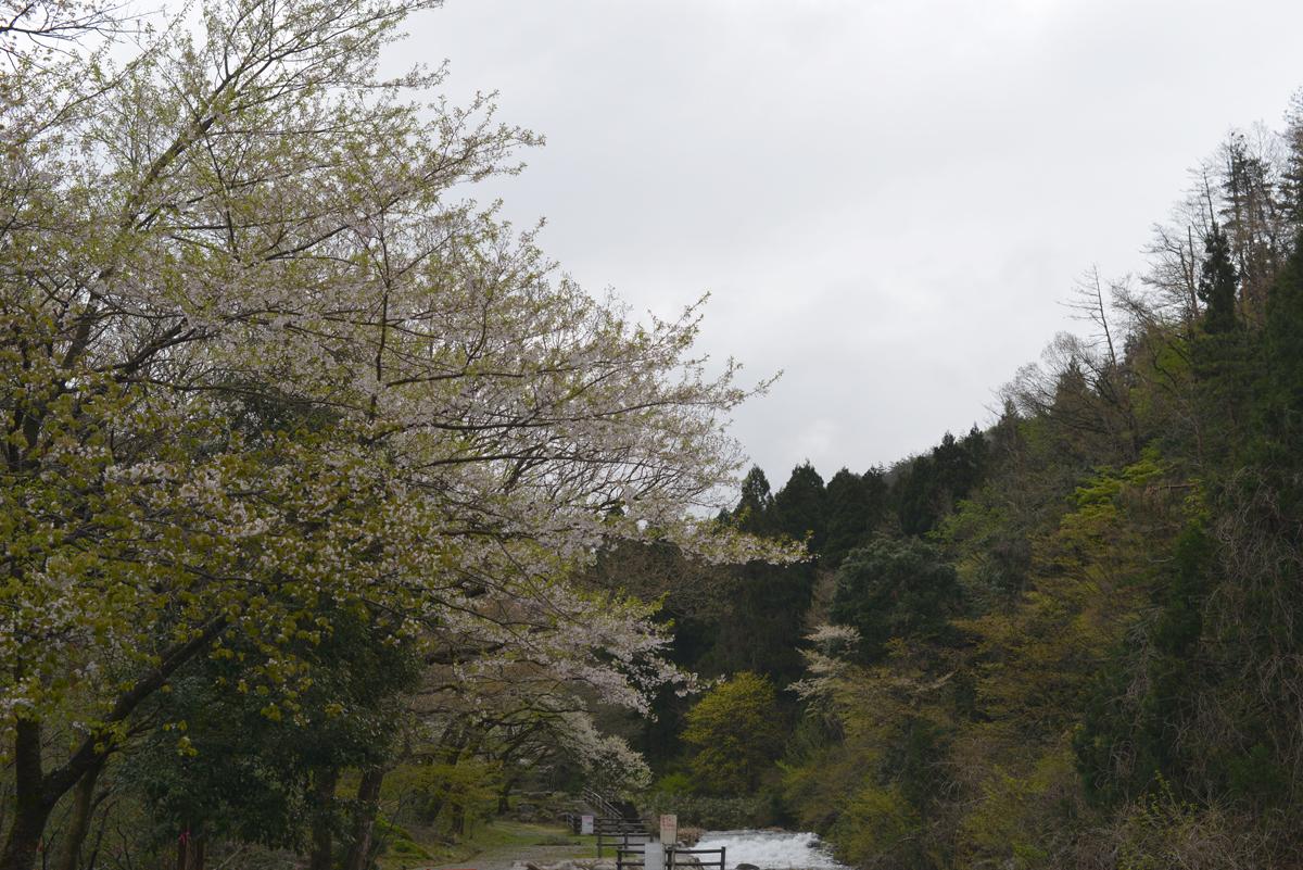ikoi20180416-03 桜並木 五頭山麓いこいの森