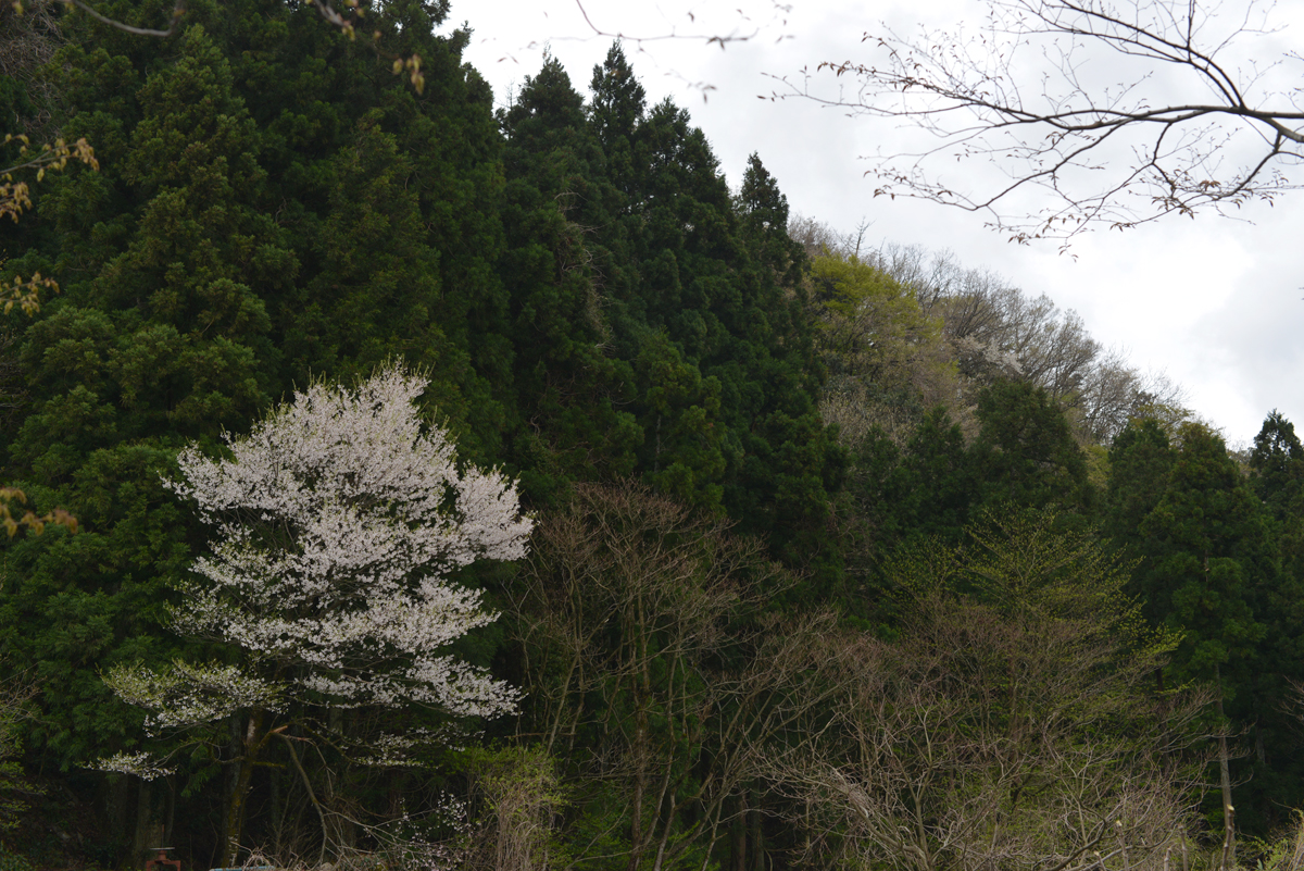 ikoi20180416-04 桜並木 五頭山麓いこいの森