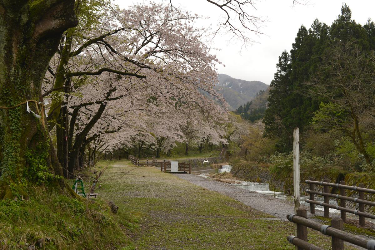 ikoi20180416-06 桜並木 五頭山麓いこいの森