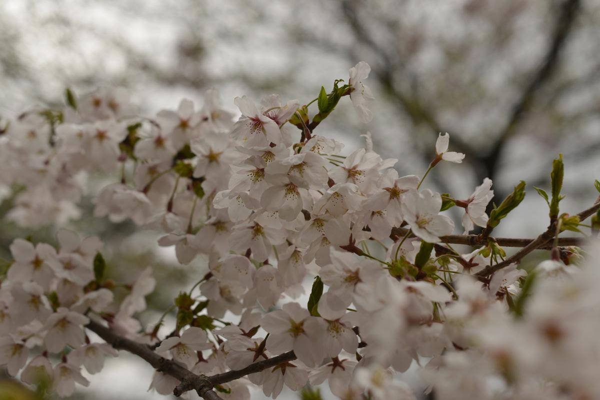 ikoi20180416-09 桜並木 五頭山麓いこいの森