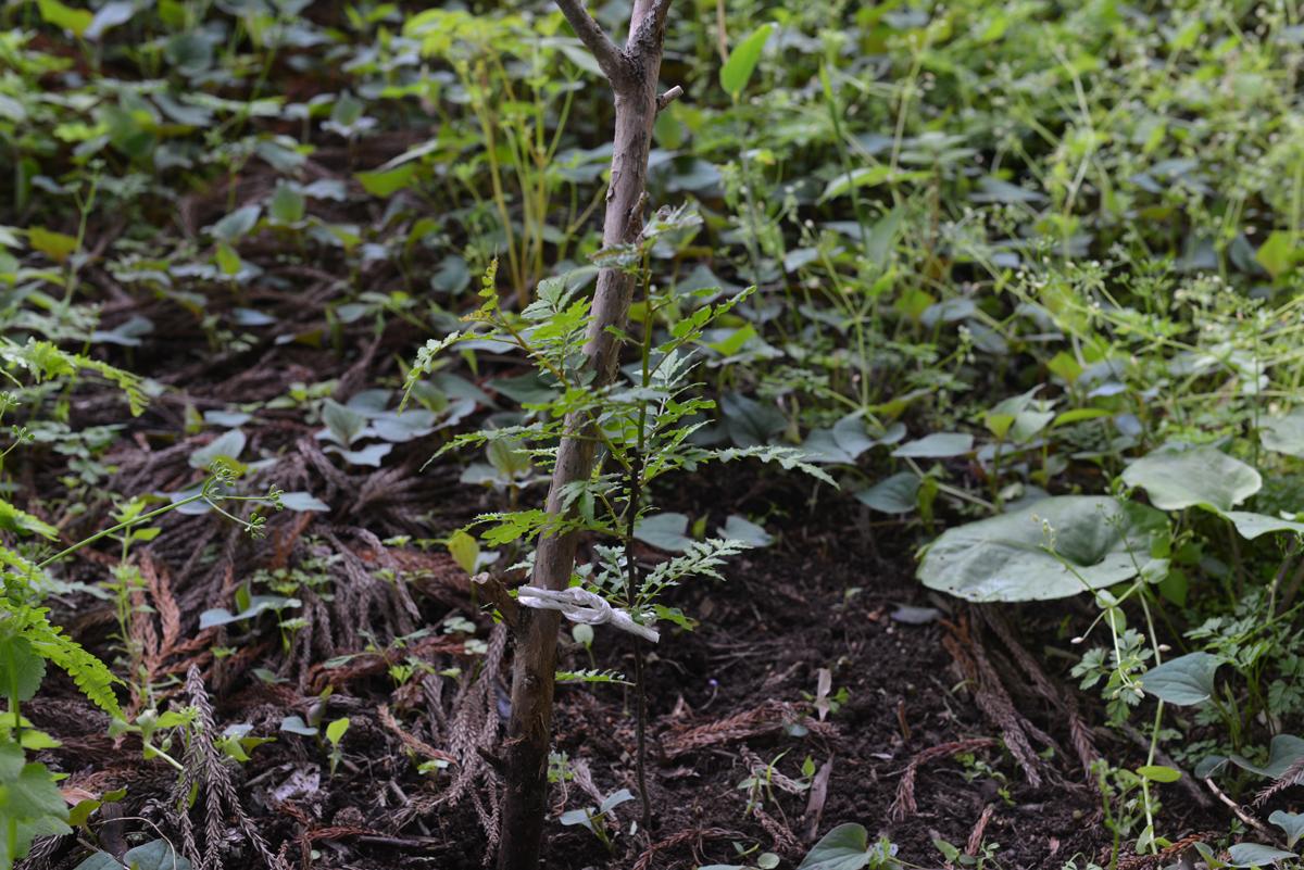 hataenomori20180511-04 緑が濃くなった 五頭山麓いこいの森