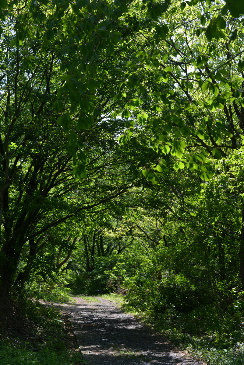ikoi20180511-02 緑が濃くなった 五頭山麓いこいの森