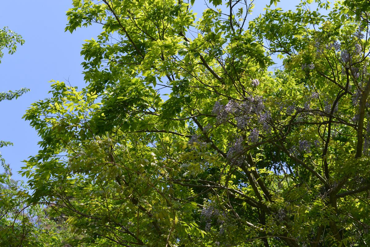 ikoi20180511-07 緑が濃くなった 五頭山麓いこいの森