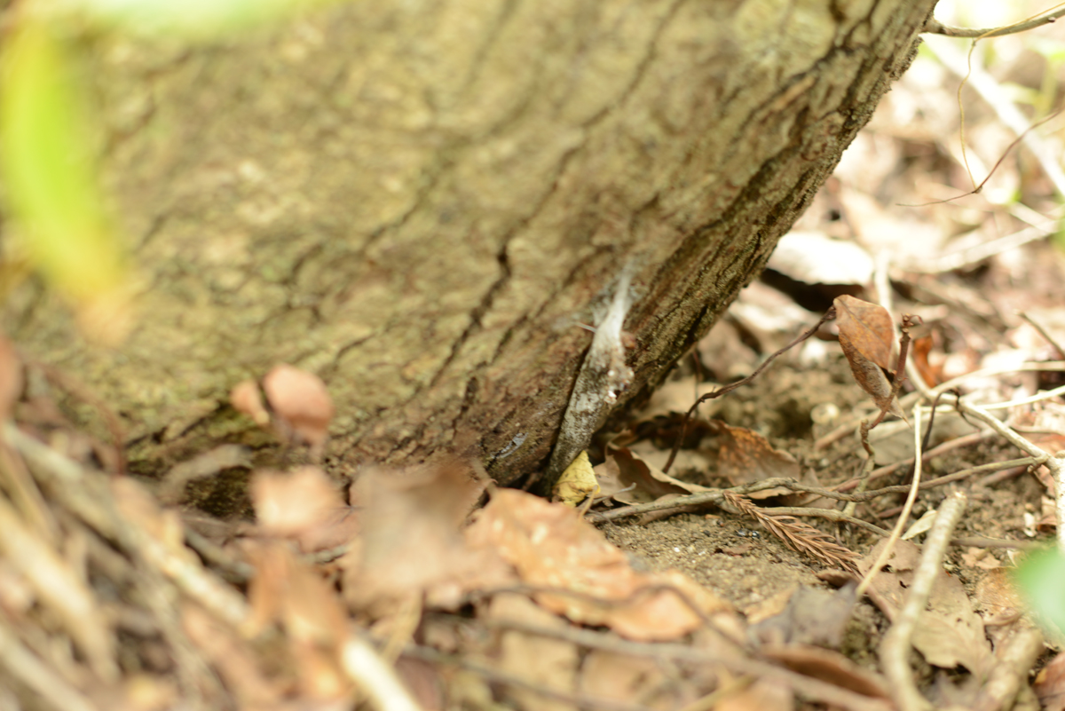 ikoi20181005-06 樹木医さんがやってくるので土を見てみる 五頭山麓いこいの森