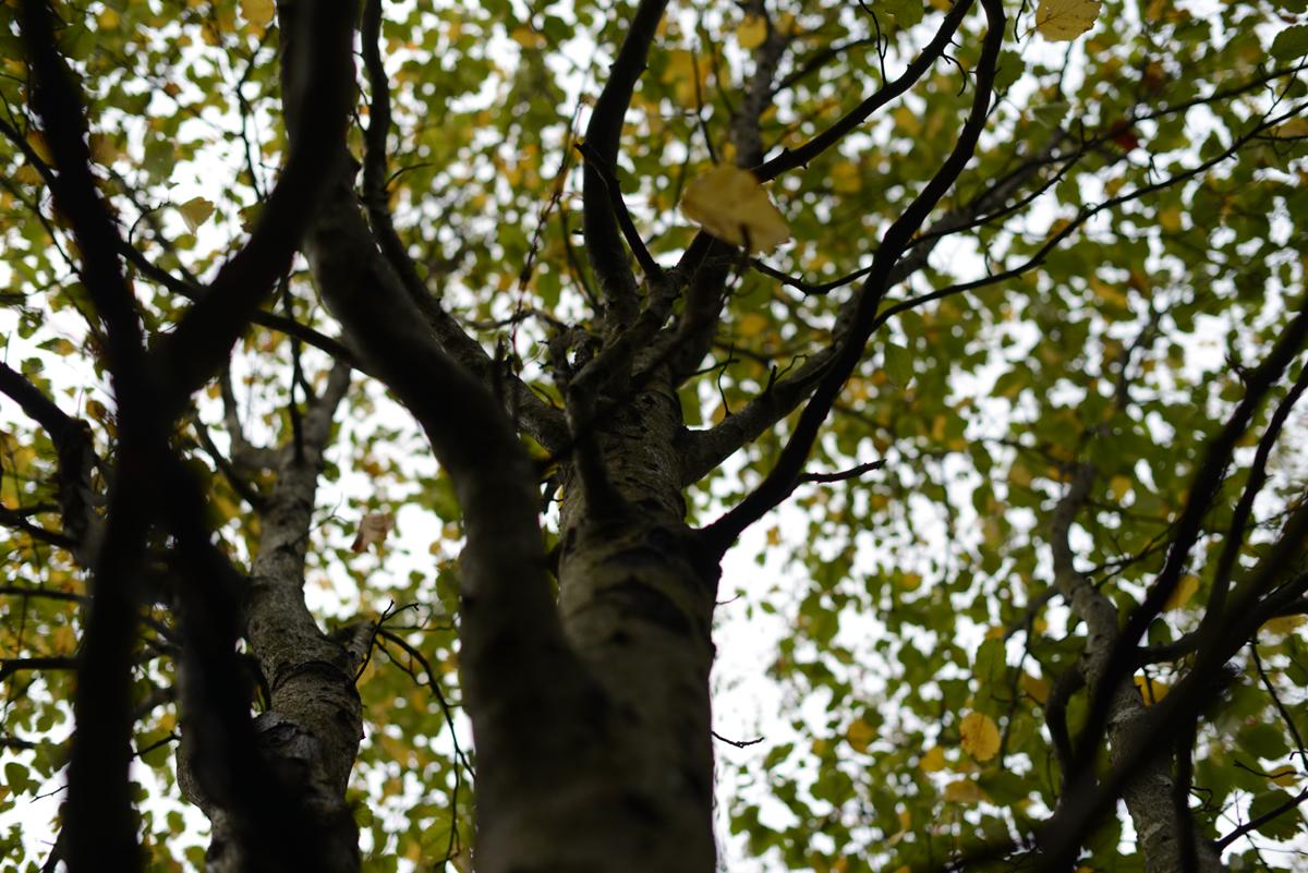 ikoi20181012-05 夕方に木を見上げてみる 五頭山麓いこいの森