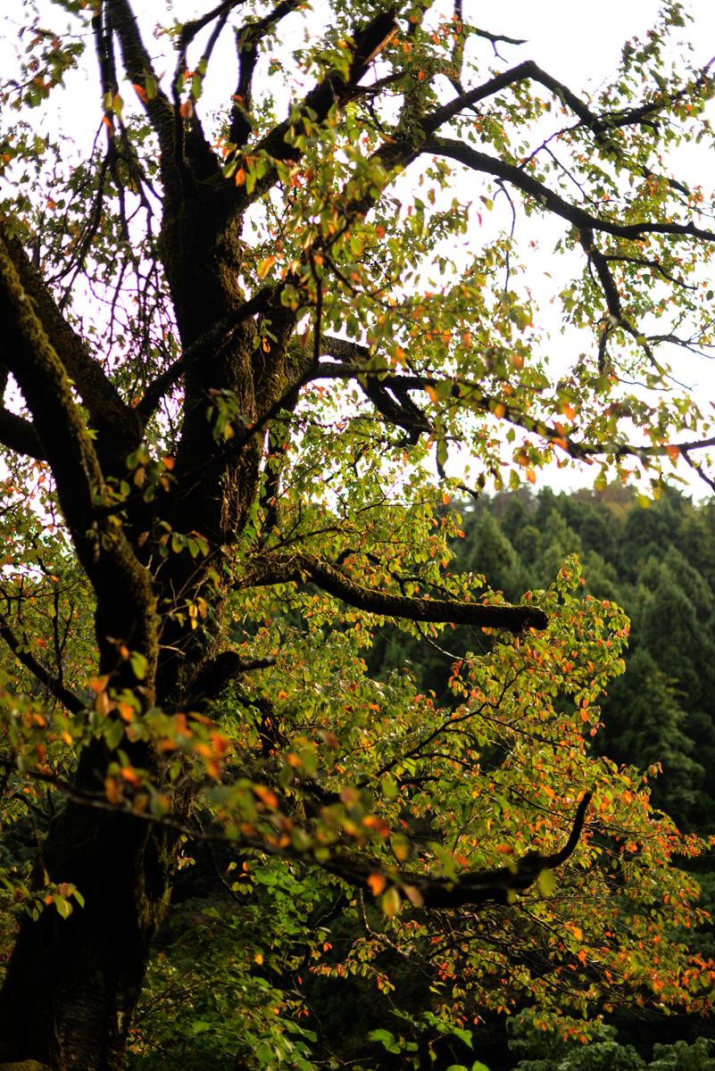ikoi20181012-08 夕方に木を見上げてみる 五頭山麓いこいの森