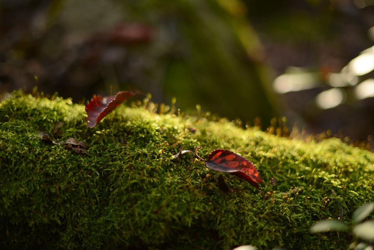 ikoi20181105-05 落ち葉が増えてきた 五頭山麓いこいの森