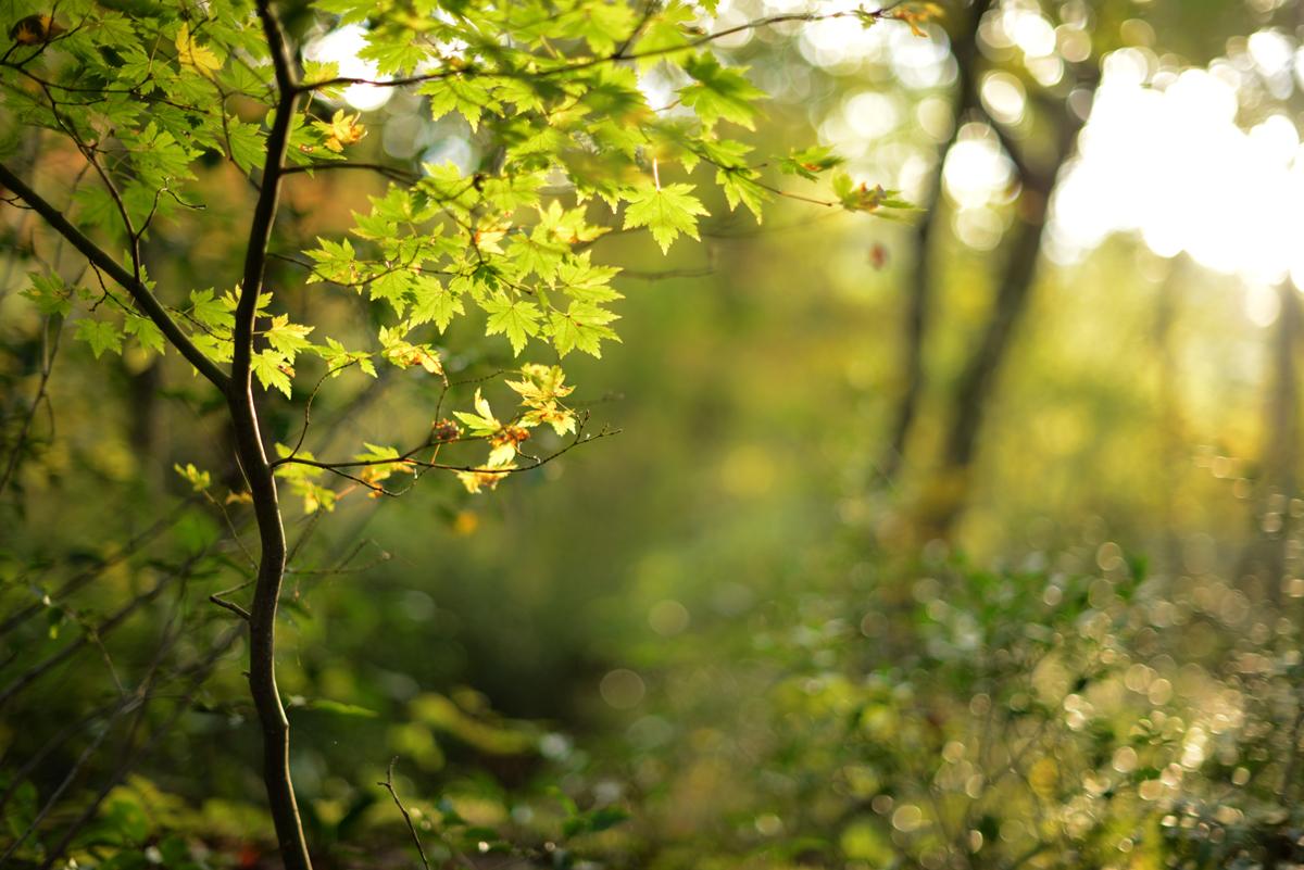 ikoi20181105-07 落ち葉が増えてきた 五頭山麓いこいの森