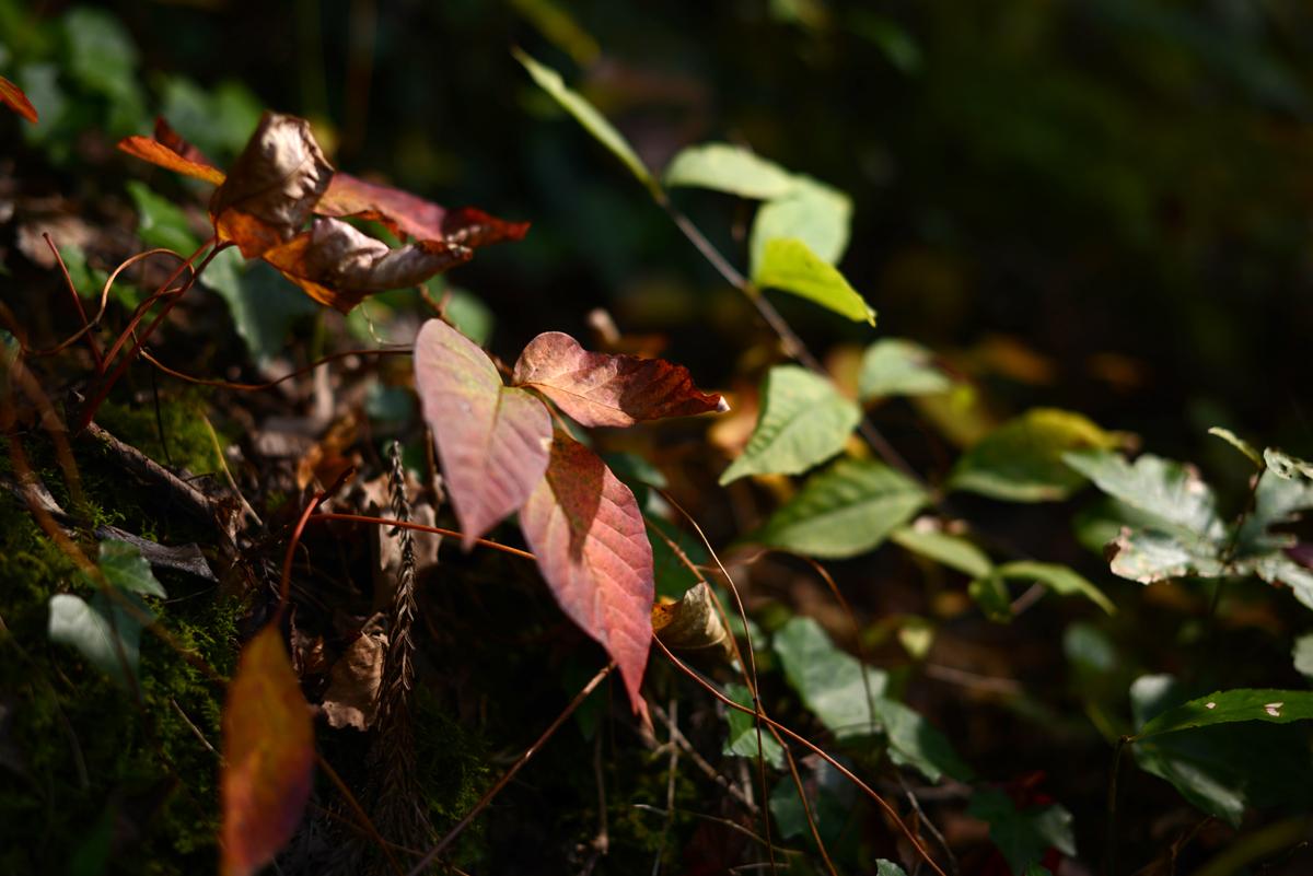 ikoi20181105-08 落ち葉が増えてきた 五頭山麓いこいの森