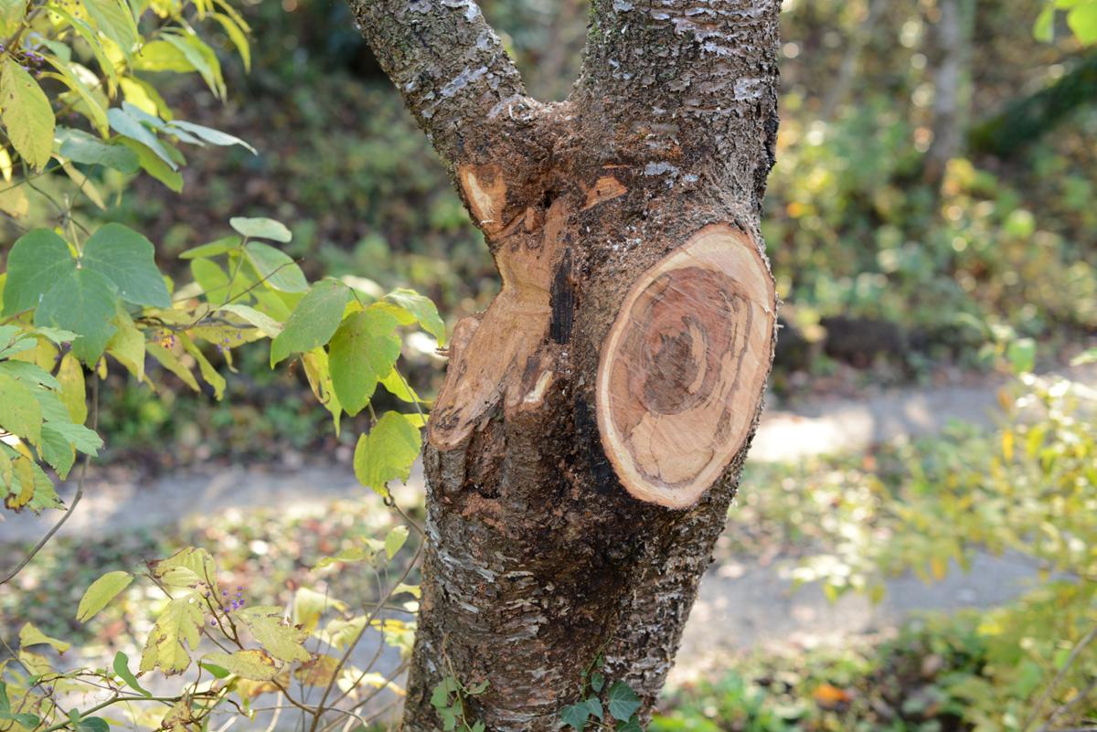 ikoi20181118-11 木を手入れする 五頭山麓いこいの森