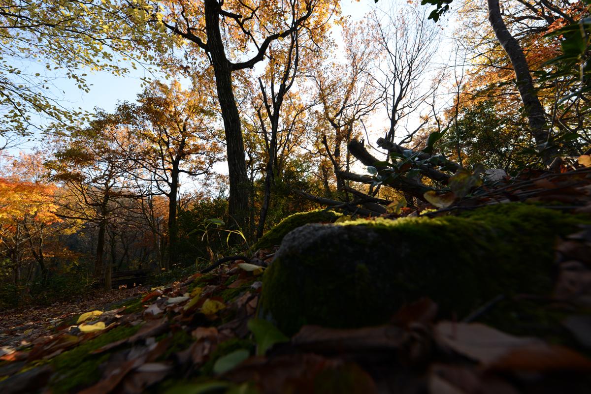 ikoi20181126-01 黄色の葉っぱだらけ 五頭山麓いこいの森