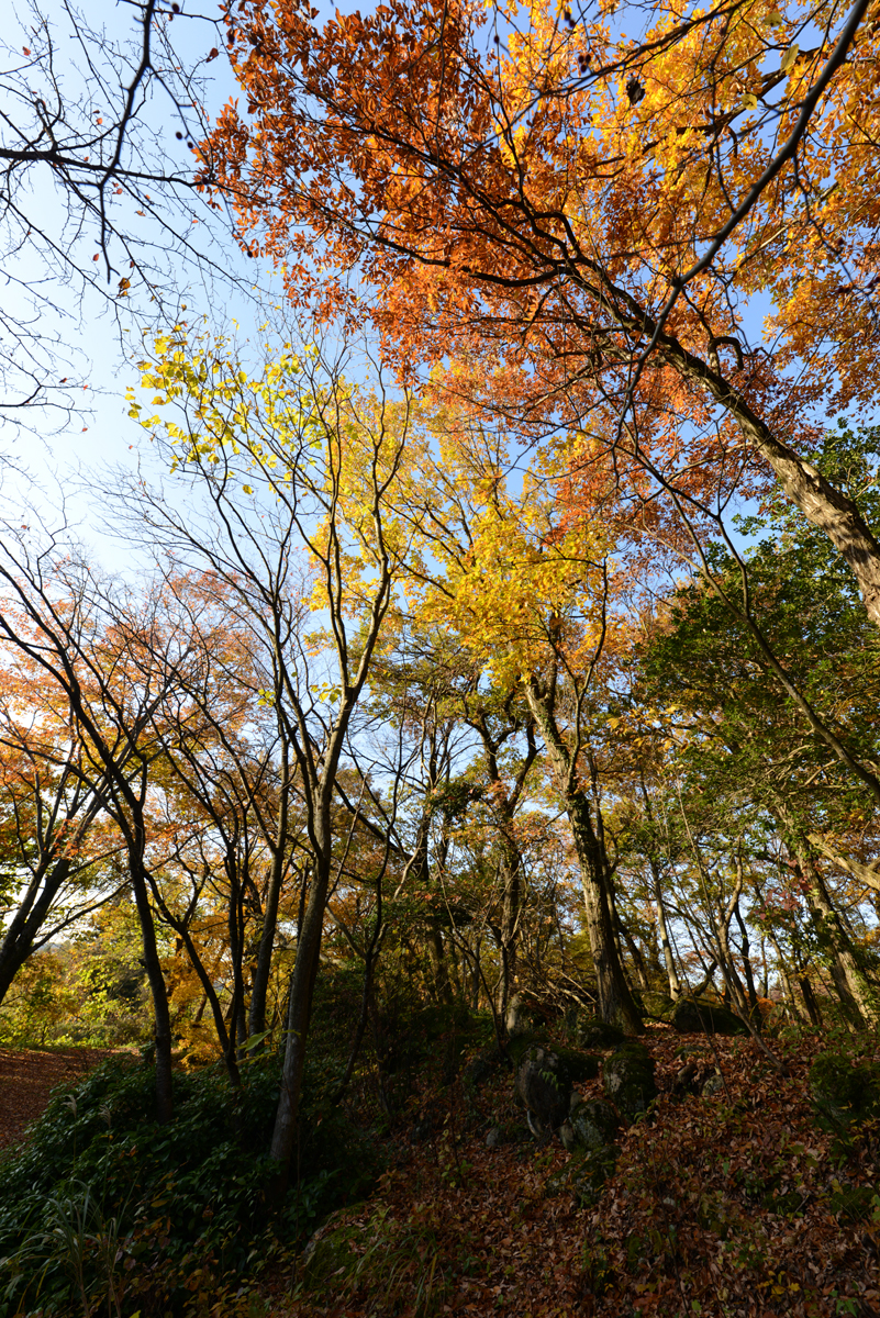 ikoi20181126-02 黄色の葉っぱだらけ 五頭山麓いこいの森