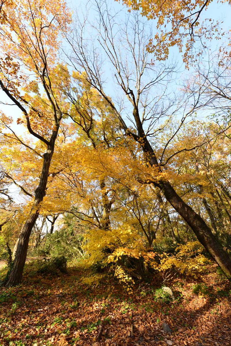 ikoi20181126-03 黄色の葉っぱだらけ 五頭山麓いこいの森