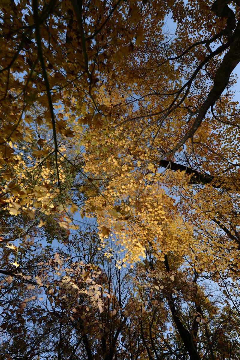 ikoi20181126-05 黄色の葉っぱだらけ 五頭山麓いこいの森