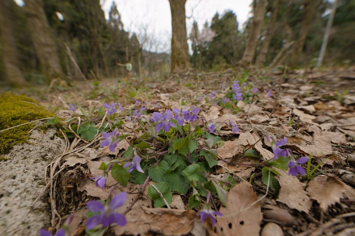 ikoi20190412-03 畑江の森にも春が来る 五頭山麓いこいの森