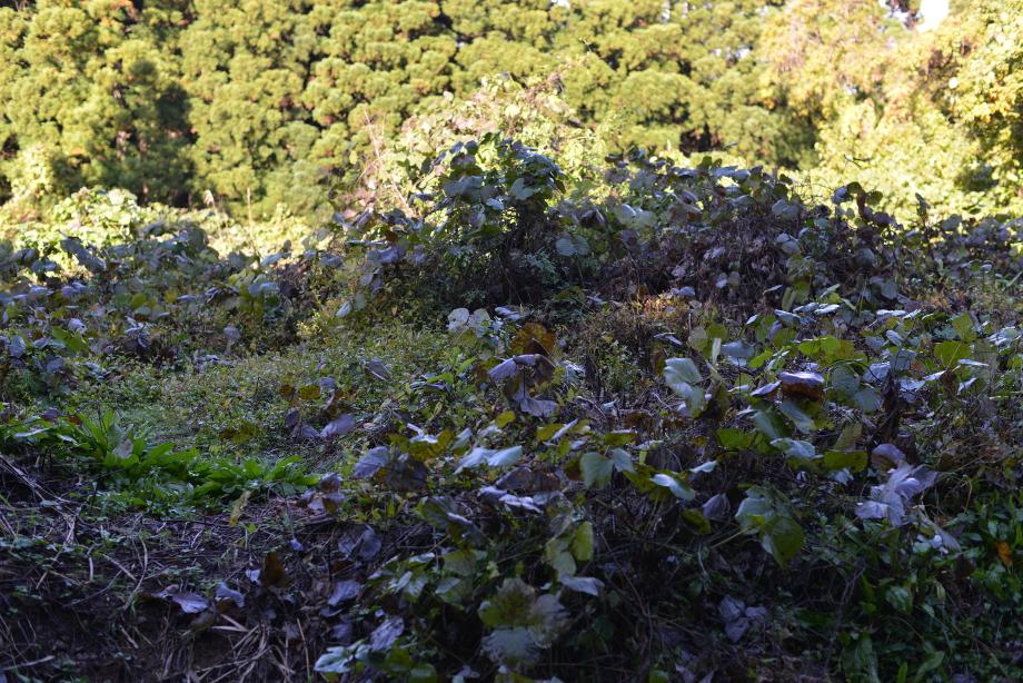 ぽっぽ五頭の花畑(つたが広がる)